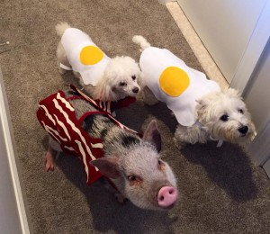 1 pig and 2 poppies in Halloween costumes